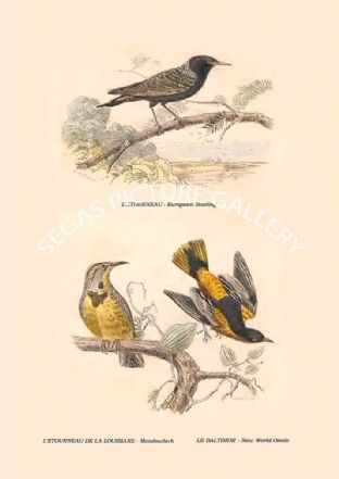 European Starling, Meadowlark, New World Oriole
